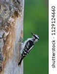 downy woodpecker at nest | Shutterstock . vector #1129124660