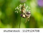 honey bee in clover flower | Shutterstock . vector #1129124708