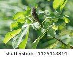 sparrow on tree at park | Shutterstock . vector #1129153814