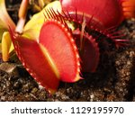 carnivore plant with big red...   Shutterstock . vector #1129195970