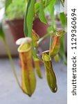 beautiful carnivorous plant...   Shutterstock . vector #1129360694