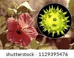 hibiscus rosa sinensis flower...   Shutterstock . vector #1129395476