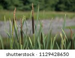reed. cylindrical flower spikes ... | Shutterstock . vector #1129428650