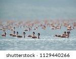 Lesser Flamingos Swimming At...