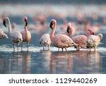 Lesser Flamingos At Bogoria Lake