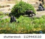 gorillas in dutch zoo | Shutterstock . vector #1129443110