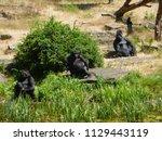 gorillas in dutch zoo | Shutterstock . vector #1129443119