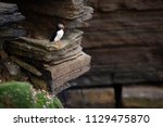 puffin sitting on brown cliffs... | Shutterstock . vector #1129475870