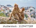 gibraltar apes    barbary... | Shutterstock . vector #1129477289