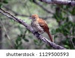 Brown Thrasher Bird - Young brown thrasher bird on a tree limb after a rainstorm, at Point Washington State Forest, Walton County, Santa Rosa Beach, Florida, 30A