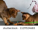 Stock photo abyssinian cats mother and kitten play 1129524683