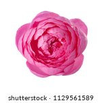pink rose isolated on white... | Shutterstock . vector #1129561589