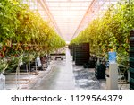 modern greenhouse with tomato... | Shutterstock . vector #1129564379