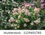 beautiful multi colored rose... | Shutterstock . vector #1129601783