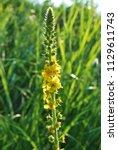 agrimony agrimonia eupatoria ... | Shutterstock . vector #1129611743
