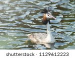 podiceps cristatus duck... | Shutterstock . vector #1129612223