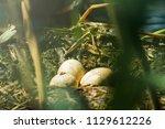 podiceps cristatus bird eggs in ... | Shutterstock . vector #1129612226
