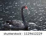 black swan swimming in lake... | Shutterstock . vector #1129612229