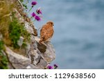 eurasian kestrel  falco... | Shutterstock . vector #1129638560