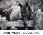 A Beautiful Mare With A Long...
