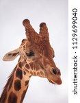 tall reticulated giraffe... | Shutterstock . vector #1129699040