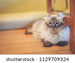 one cute black and white cat is ... | Shutterstock . vector #1129709324