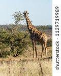 giraffe  close up  in their... | Shutterstock . vector #1129719989