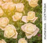 sunlight white roses background | Shutterstock . vector #1129744364