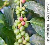 fresh ripening coffee cherries... | Shutterstock . vector #1129744448