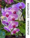 purple orchids flower | Shutterstock . vector #1129745558