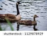 An Adult Canadian Goose And A...