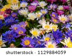 colorful lotus in the basin.   Shutterstock . vector #1129884059