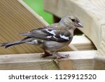 portrait of a common chaffinch... | Shutterstock . vector #1129912520