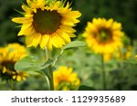 yellow field of sunflowers.... | Shutterstock . vector #1129935689