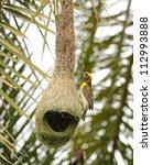 Birds Of India  Baya Weaver