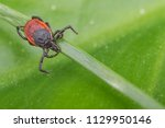 deer tick lurking on a grass... | Shutterstock . vector #1129950146