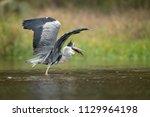 the grey heron  ardea cinerea ...   Shutterstock . vector #1129964198