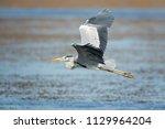 the grey heron  ardea cinerea ...   Shutterstock . vector #1129964204
