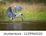 the grey heron  ardea cinerea ...   Shutterstock . vector #1129964210