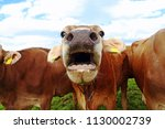 a mooing cow. funny cow photo...   Shutterstock . vector #1130002739
