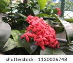 red pink flower spike and green ... | Shutterstock . vector #1130026748