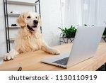 Cute Labrador Dog Looking At...