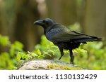 common raven  corvus corax  ... | Shutterstock . vector #1130132429