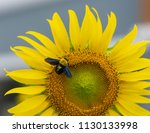a large sunflower in bloom and... | Shutterstock . vector #1130133998