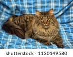 beautiful brown siberian cat... | Shutterstock . vector #1130149580
