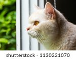 yellow cat at the window | Shutterstock . vector #1130221070