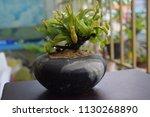 tropical pitcher carnivorous...   Shutterstock . vector #1130268890