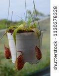 tropical pitcher carnivorous...   Shutterstock . vector #1130278328
