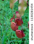 insectivorous plant ...   Shutterstock . vector #1130281454