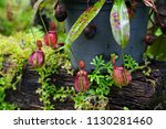 insectivorous plant ...   Shutterstock . vector #1130281460